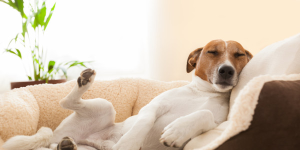 Dog Having A Relaxing Siesta In Living Room